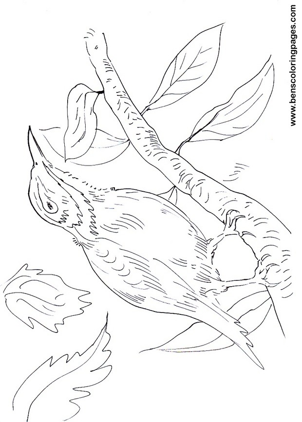 Flycatcher Free Pages To Color