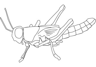 Locust Diagram Coloring Pages Locust Coloring Page